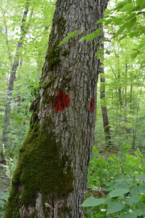 saccharum: Sugar Maple Acer saccharum Marked as Timber Sale Boundary Tree
