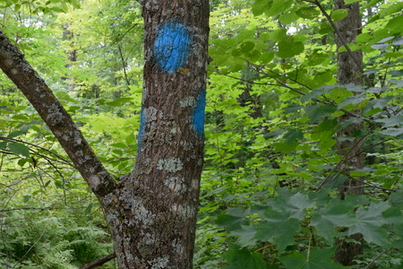 marked: Blue Painted Sugar Maple Acer saccharum Marking Timber Sale Boundary Stock Photo