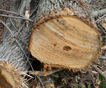 acer: Sugar Maple Acer saccharum Log End Detail