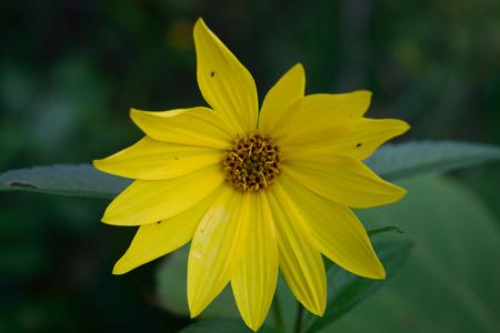 helianthus: Wild Sunflower Helianthus Head