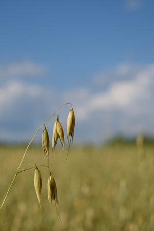 florets: Closeup on Oat Florets