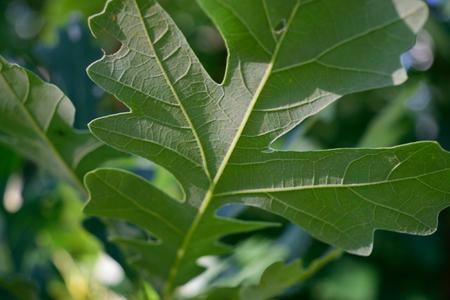 quercus: Detail of Bottom of Bur Oak Quercus macrocarpa Leaf