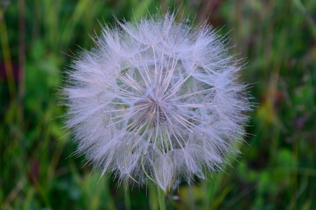 Giant Dandelion Salsify Tragopogon dubius Seed Head Closeup