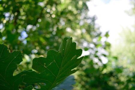 quercus: Bur Oak Quercus macrocarpa Leaves in the Summer