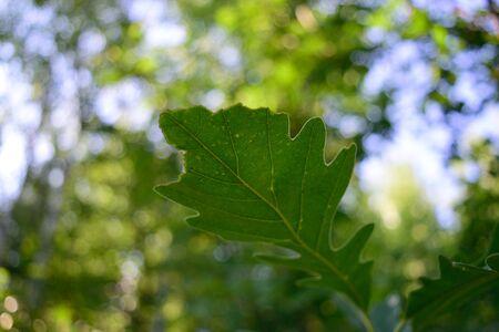 quercus: Late Summer Bur Oak Quercus macrocarpa Leaf