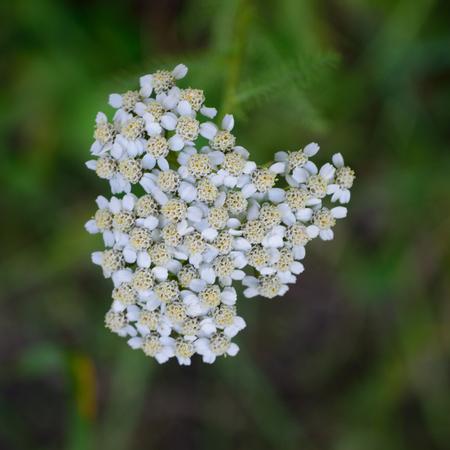 yarrow: Yarrow Achillea millefolium Flowers Stock Photo