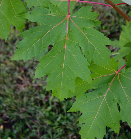 acer: Silver Maple Acer saccharinum Leaves After a Summer Rain Stock Photo