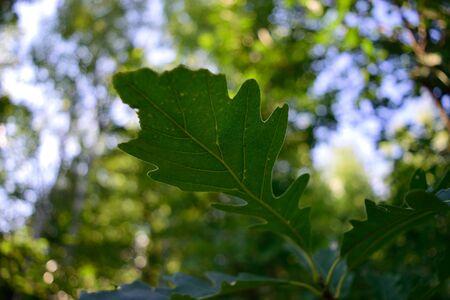 quercus: Vein Detail of Bur Oak Quercus macrocarpa Leaf