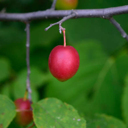 americana: American Plum Prunus americana