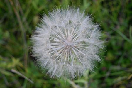 Giant Dandelion Salsify Tragopogon dubius Closeup