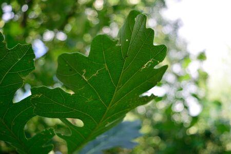 quercus: Bur Oak Quercus macrocarpa Leaf Closeup Detail