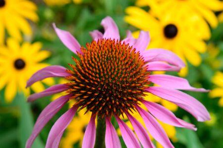 susan: Echinacea and Brown Eyed Susan