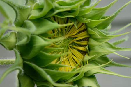 giant sunflower: Giant Sunflower Helianthus Beginning to Open Stock Photo