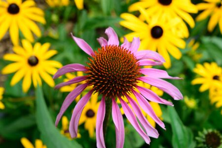 brown  eyed: Echinacea Detail with many Brown Eyed Susan