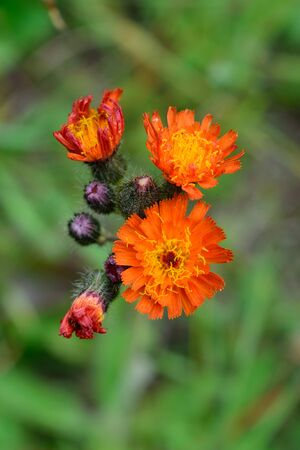 invasive plant: Orange Hawkweed Hieracium aurantiacum Flowers