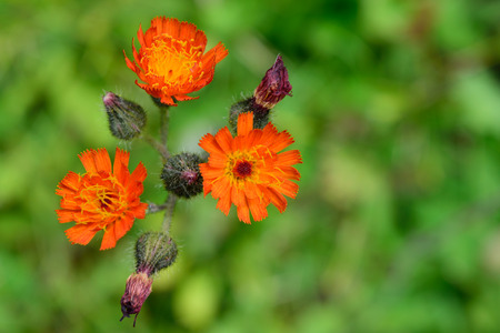 hawkweed: Orange Hawkweed Hieracium aurantiacum Flowers Closeup