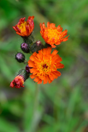 hawkweed: Orange Hawkweed Hieracium aurantiacum with Blurred Background Stock Photo
