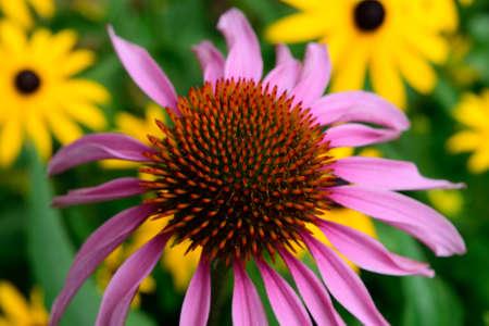brown  eyed: Purple Coneflower Detail  and Blurred Brown Eyed Susans