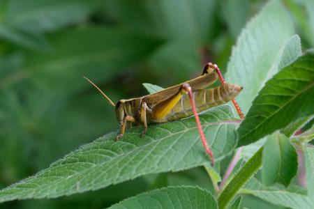 蜂香油植物の葉のバッタ 写真素材