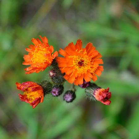 hawkweed: Orange Hawkweed Hieracium aurantiacum Flower Detail Stock Photo