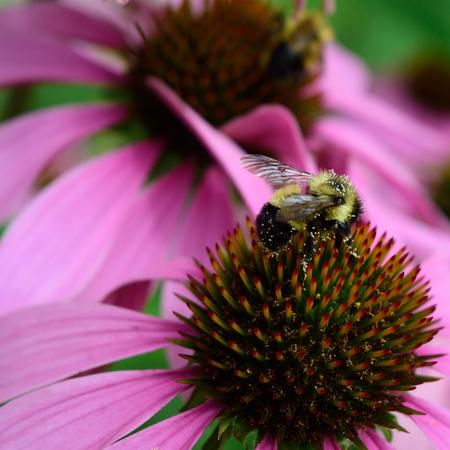 honeybee: Honeybee and Coneflower Detail Stock Photo