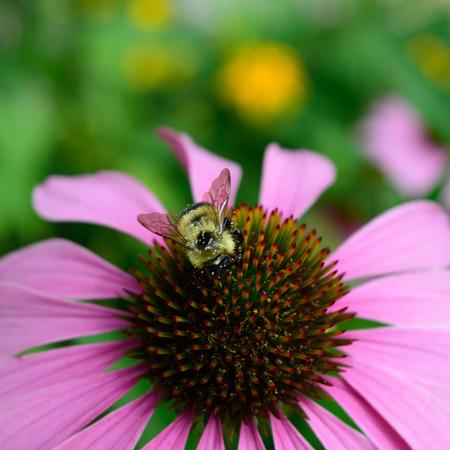 honeybee: Closeup of Honeybee on Echinacea Stock Photo