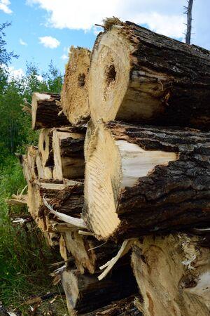 tremante: Raccolte tremuloides tremito Aspen Populus su Log Landing Archivio Fotografico