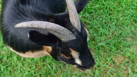 pygmy goat: Horned Dwarf Goat from Above