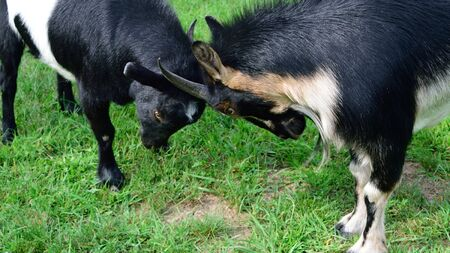 Playful Goats Facing Off