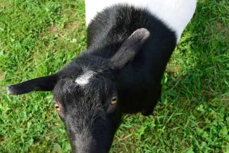 pygmy goat: Dwarf Goat from Above