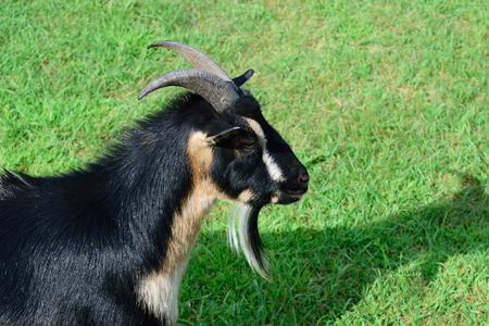 pygmy goat: Side View of Horned Dwarf Goat