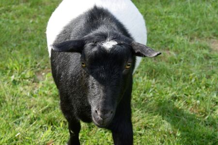 pygmy goat: Playful Black and White Dwarf Goat