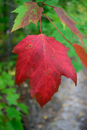 acer: Red Maple Acer rubrum Showing Fall Colors