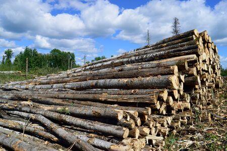 quaking aspen: Aspen Populus tremuloides on Log Landing in Summer Stock Photo