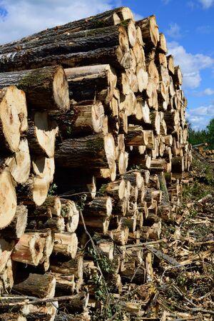 Aspen Populus tremuloides on Summer Log Landing