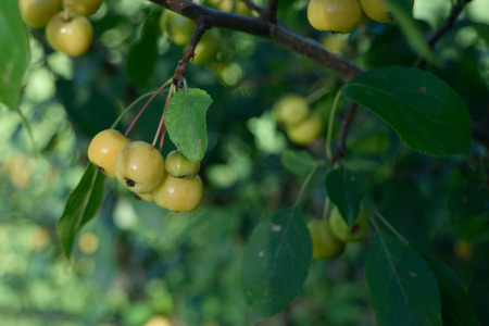 crab apple tree: Crabapples Malus in Orchard Stock Photo