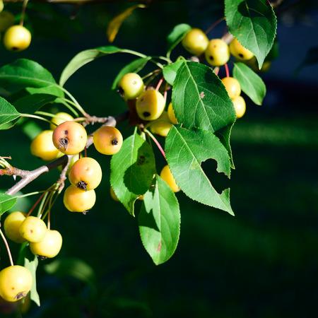 crab apple tree: Organic Crabapples Malus