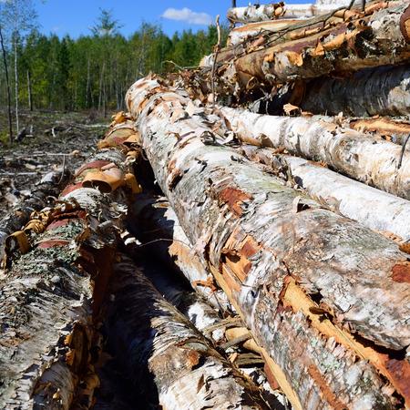 birchbark: Paper Birch Betula papyrifera on Log Landing Stock Photo