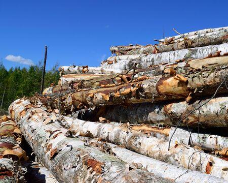 birchbark: Paper Birch Betula papyrifera Logs