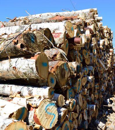 betula: Summer Harvest of Paper Birch Betula papyrifera Stock Photo