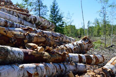 birchbark: Paper Birch Betula papyrifera Log Pile