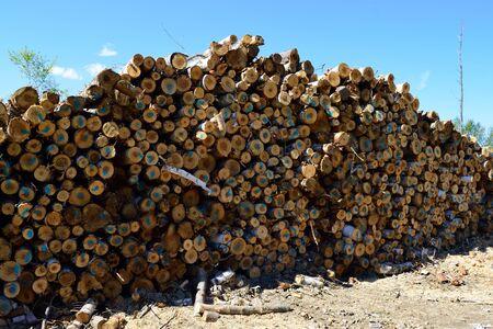 betula: Pile of Paper Birch Betula papyrifera Stock Photo