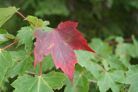 acer: Red Maple Acer rubrum Tree Beginning to Show Fall Colors