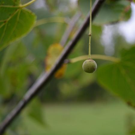 tilia: Single Basswood Tilia Americana Seed Nutlet in Fall
