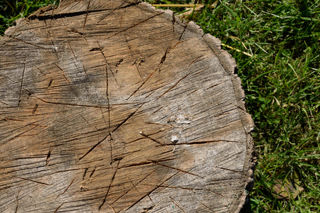saccharum: Sugar Maple (Acer saccharum) Used as Chopping Block Stock Photo