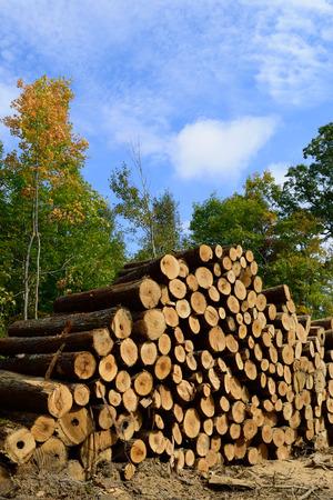 basswood: Basswood (Tilia Americana) Sawlogs Cut in Fall Stock Photo