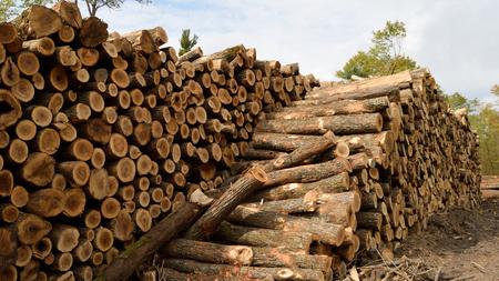 acer: Sugar Maple (Acer saccharum) on Log Landing