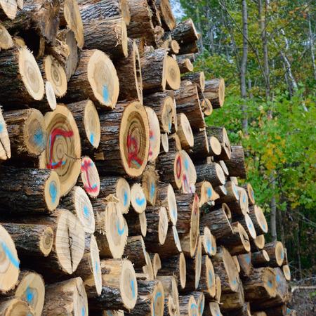 saccharum: Sugar Maple (Acer saccharum) Cut for Firewood