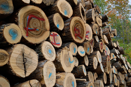 forest management: Sugar Maple (Acer saccharum) Labeled as Firewood Stock Photo