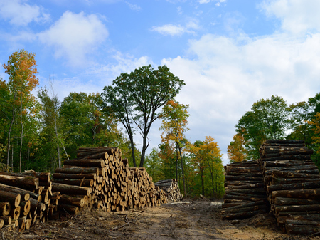 acer saccharum: Hardwood Harvested and Piled in Fall